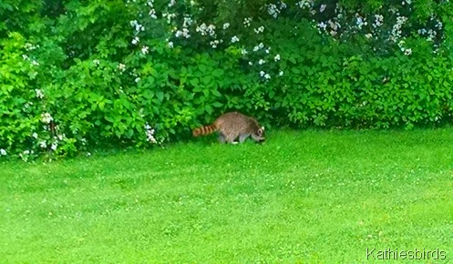 9. 6-30-15 raccoon in yard