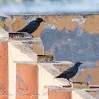 Spotless Starling; Estornino Negro