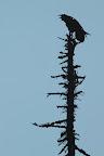 EN HAUT DE LA CROOOOOOA ?Grand corbeau sur un squelette d'épicéa