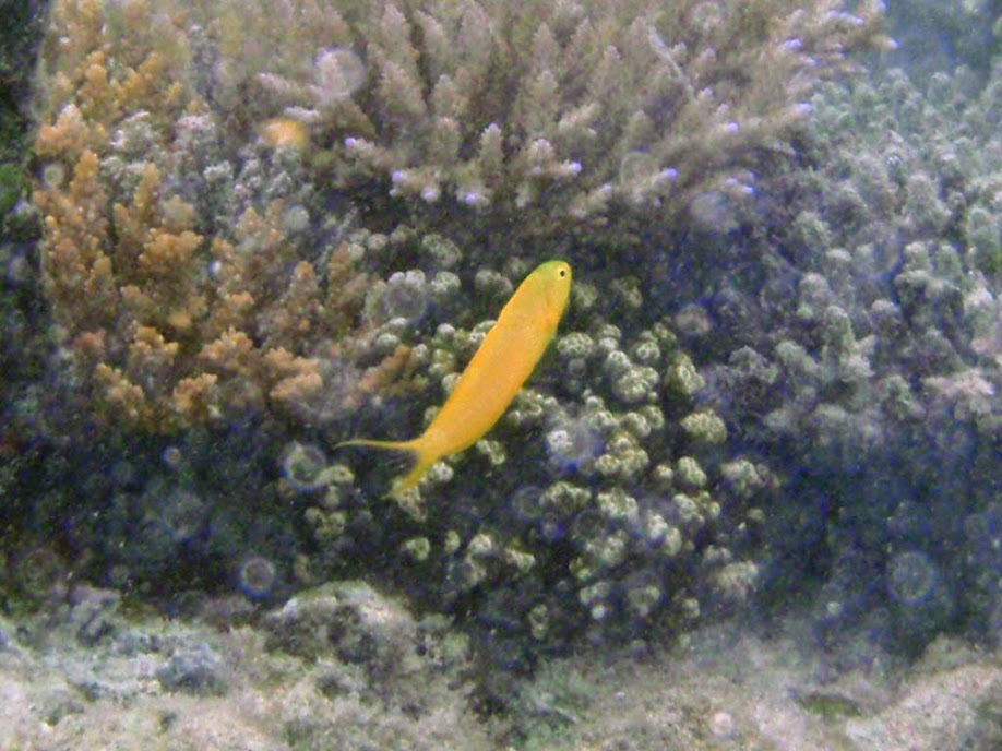 Meiacanthus oualanensis (Canary Blenny), Naigani Island, Fiji.