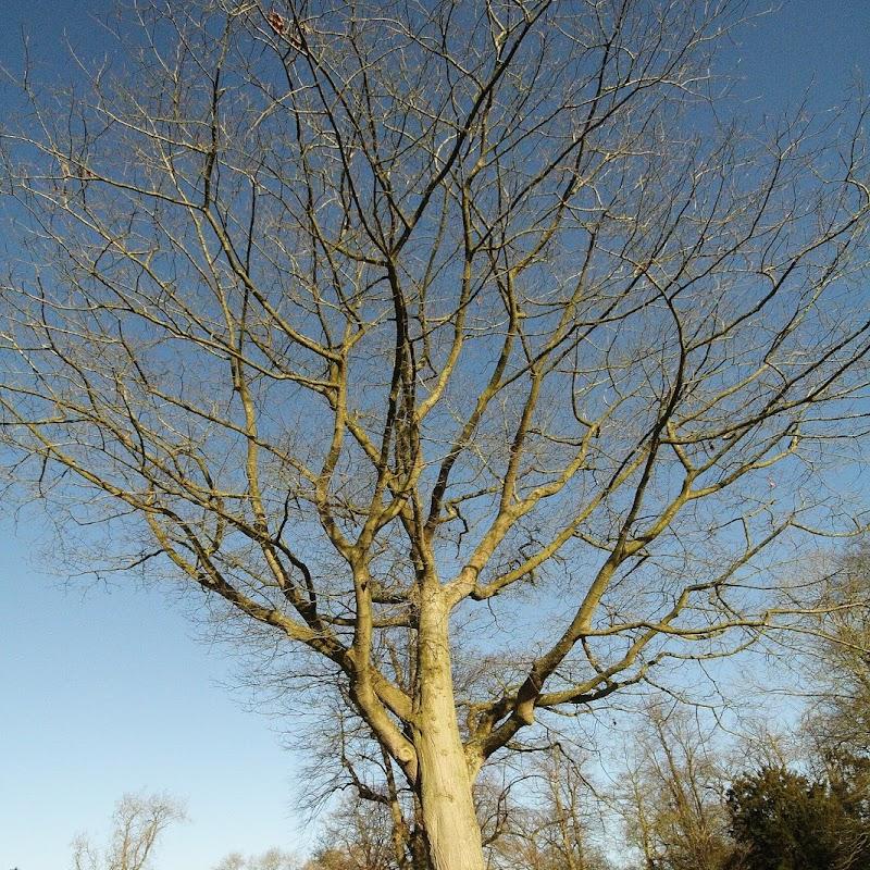 Stowe_Trees_14.JPG