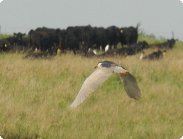 DSCN2727 Black Crowned Night Heron Bird