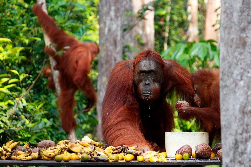 Un grupo de orangutanes