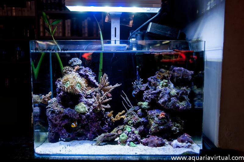 Manual de como montar un acuario marino for Peces de acuario marino