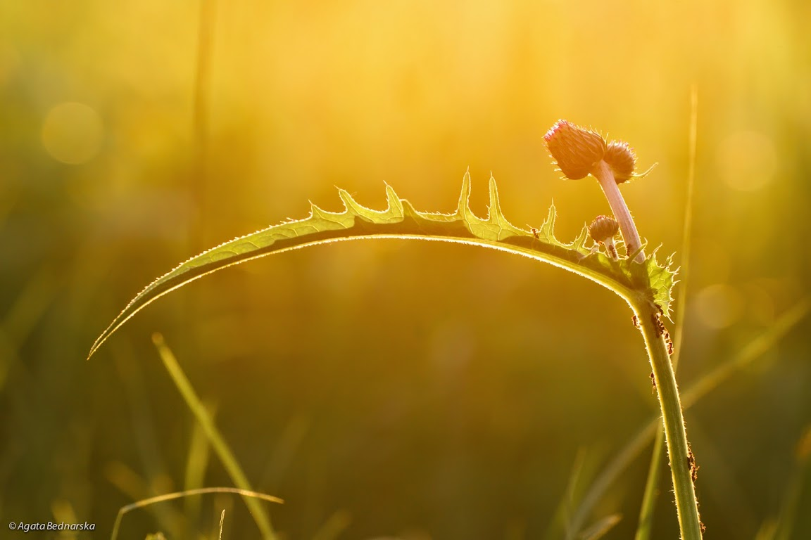 mrówki na oście, kalendarz przyrodniczy na rok 2015