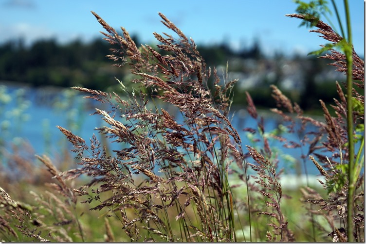 anacortes grasses in the wind 062118 00000