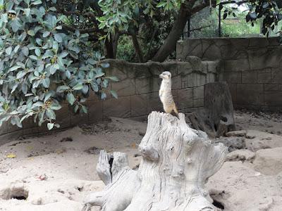 En surikat som står på en stubbe.