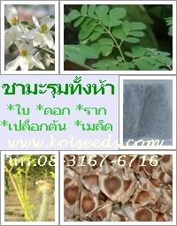 ชามะรุมทั้งห้า ชาใบมะรุม ชาดอกมะรุม ชารากมะรุม ชากิ่ง(เปลือกต้น)มะรุม ชาเมล็ดมะรุม