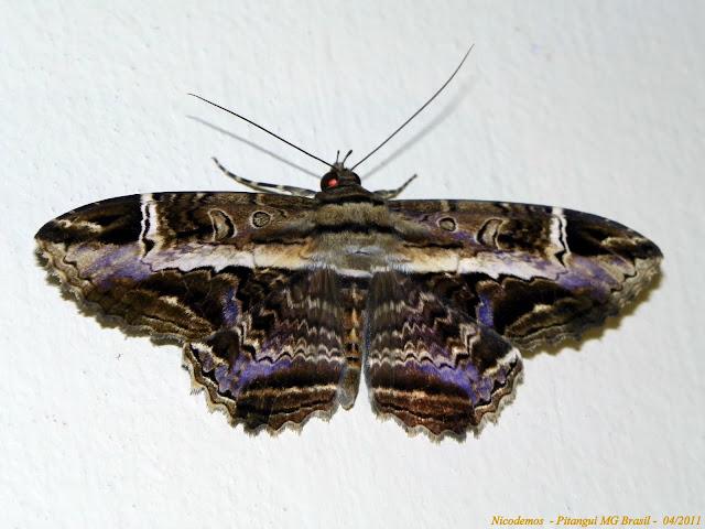 Noctuidae : Ophiderinae : Letis occidua (LINNAEUS, 1758), mâle. Pitangui (MG, Brésil), 10 avril 2011. Photo : Nicodemos Rosa