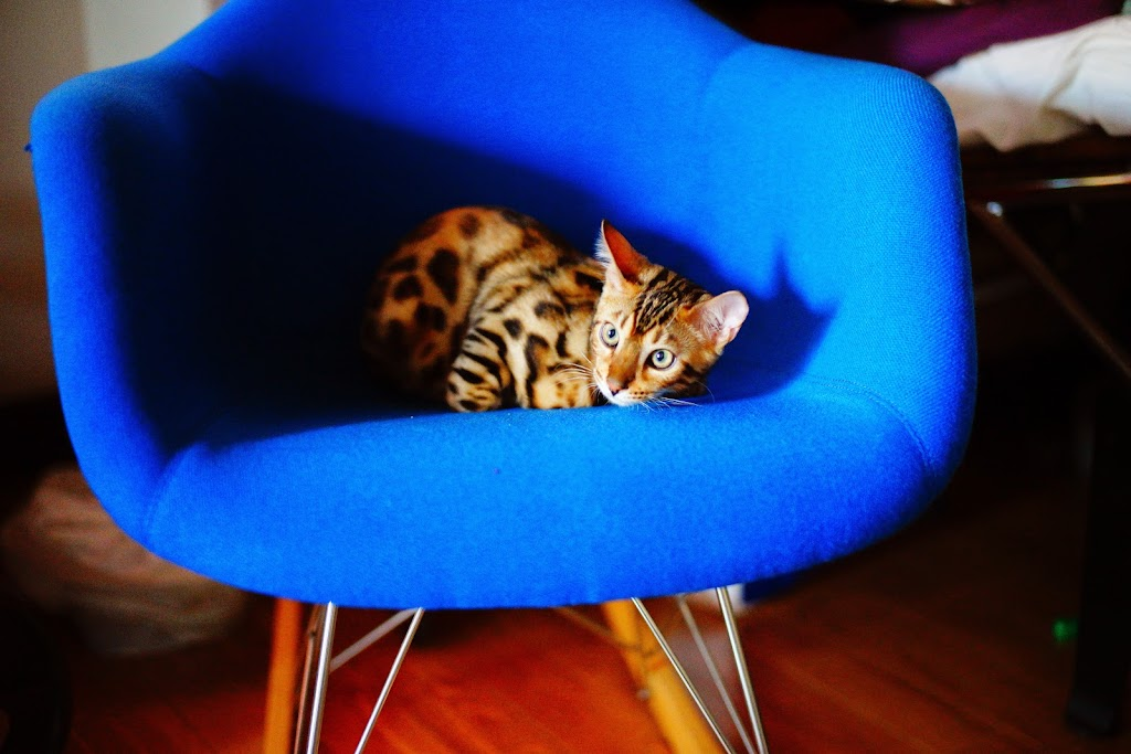 cute bengal cat