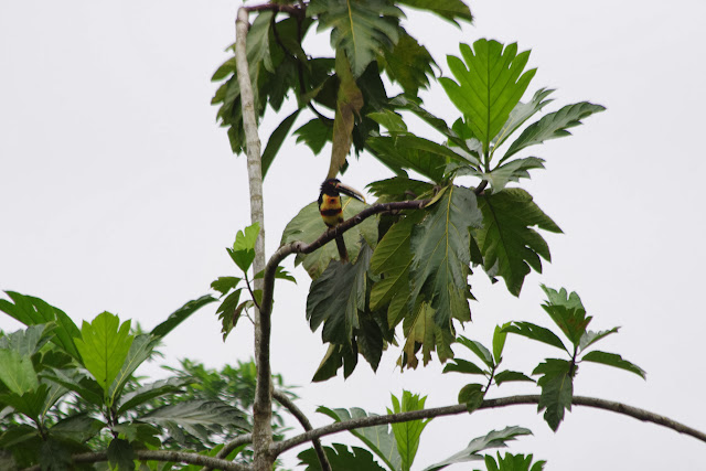 Toucan (Pteroglossus castanotis). Tunda Loma à Calderon (San Lorenzo, Esmeraldas), 7 décembre 2013. Photo : J.-M. Gayman