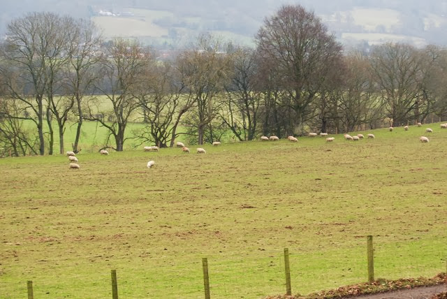 Sheep grazing on a manured field