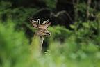 BAS LES MOUCHES   Jeune cerf en gagnage dans une prairie du Jura (01)