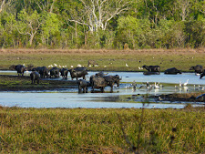 wildlife-water-buffalo-14.jpg