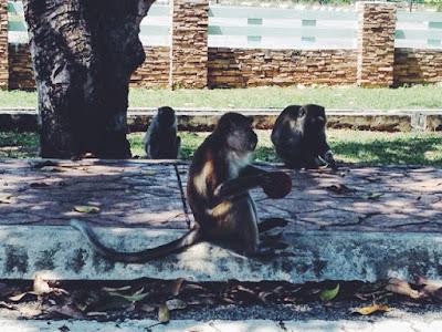 Monkeys in Cherating