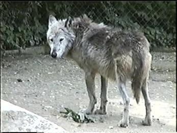 1995.06.16-003 loup