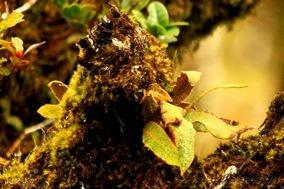 Elaphoglossum semicylindricum_1