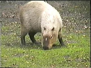 1998.09.09-006 capybara