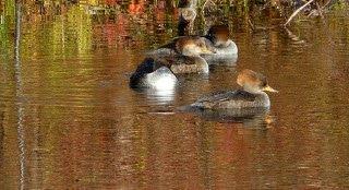 [bayoffundy.ca-SEABIRDS-40-Good-reaso%5B105%5D]