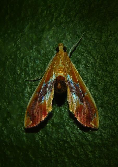 Crambidae : Pyraustinae : Spilomelini : Agathodes ostentalis GEYER, 1837. Umina Beach (NSW, Australie), 8 novembre 2011. Photo : Barbara Kedzierski