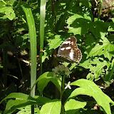 Damora sagana DOUBLEDAY, 1847, femelle. Extrémité sud de la péninsule de Gamova, 30 juillet 2010. Photo : J. Michel