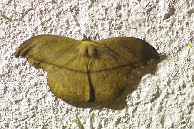 Saturniidae : Oxyteninae : Oxytenis n. nubila Jordan, 1924, mâle. Cupiagua, 620 m (Casanare, Colombie), 4 novembre 2015. Photo : J.-M. Gayman