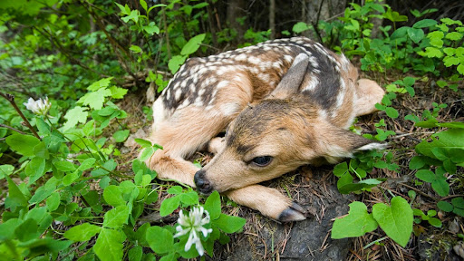 Newborn Fawn, Siuslaw National Forest, Oregon.jpg