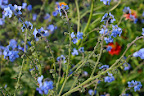 Chinese Forget-me-not.