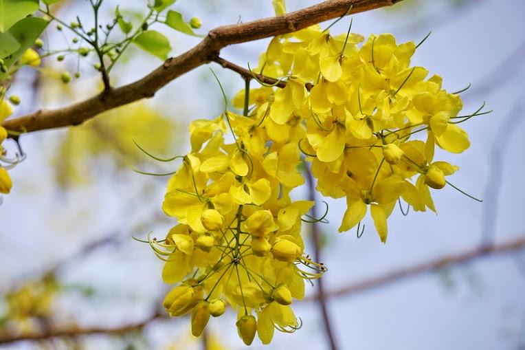 cây rẻ quạt - cây ngân hạnh