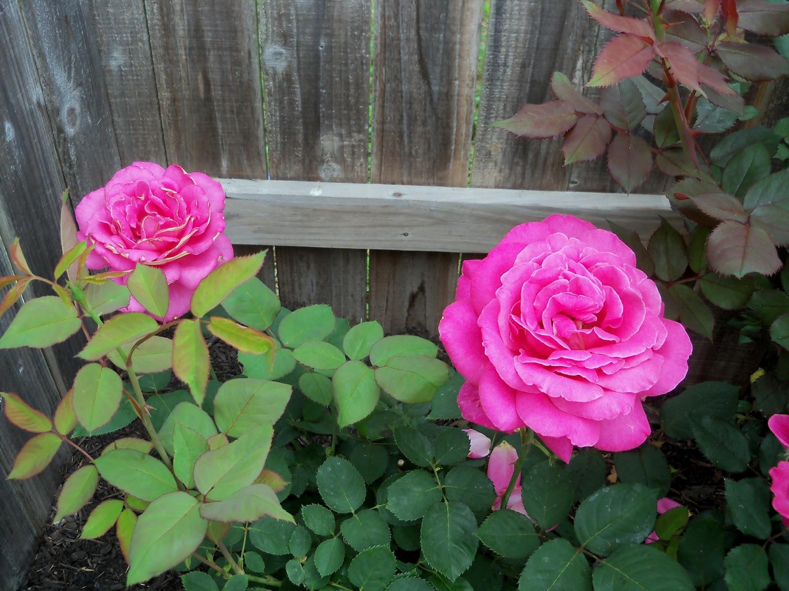 Gardening 2011 - 100_7374.JPG