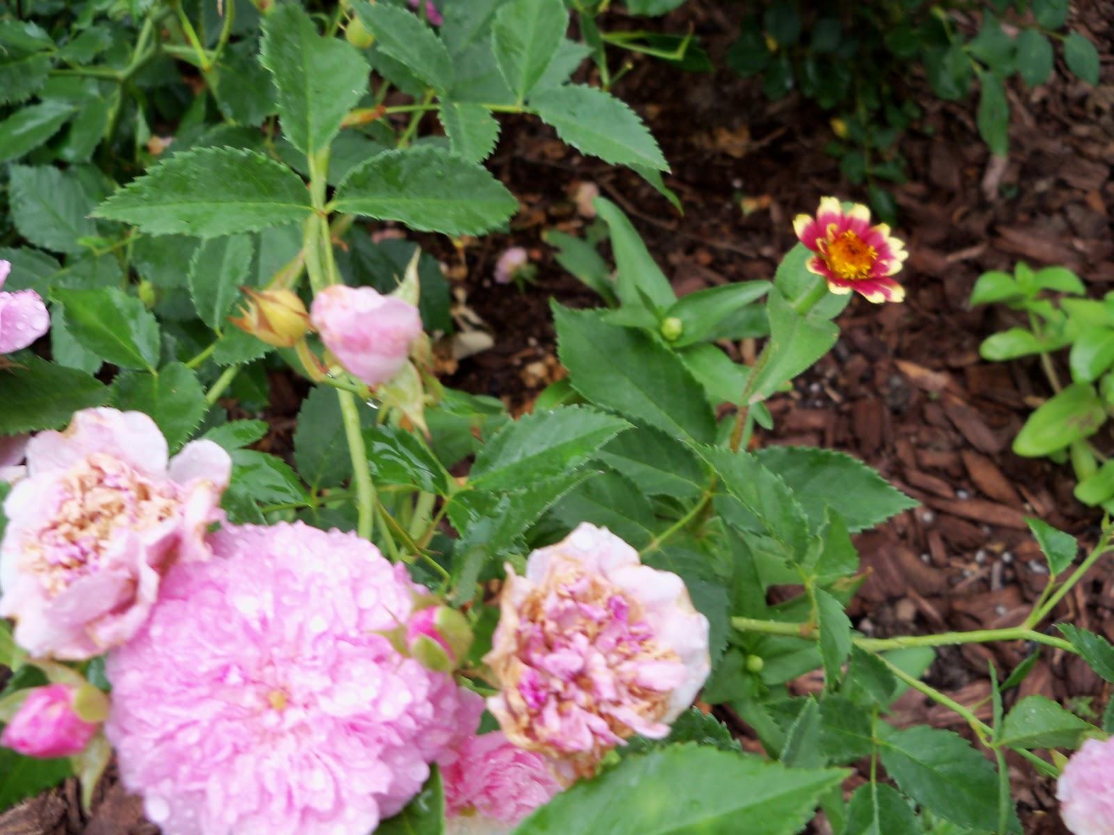 Gardening 2010, Part Two - 101_2119.JPG