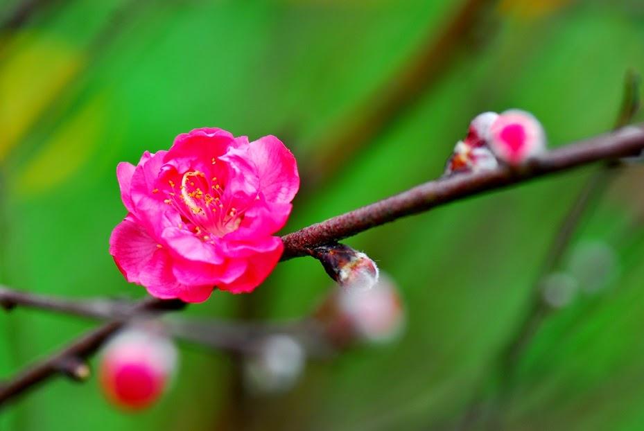 Image result for hoa đào