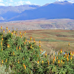 Aloe striatula 4.jpg