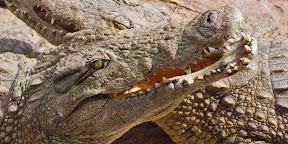African Crocodile, Zambia