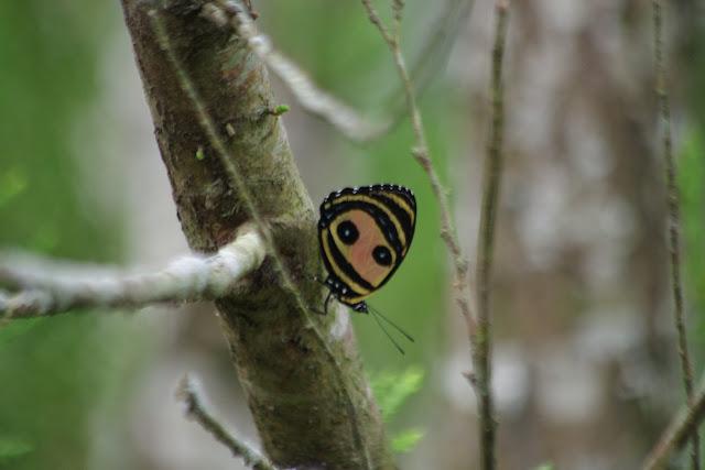 Callicore pitheas (Latreille, [1813]). Fundo Palmarito, 265 m (Yopal, Casanare, Colombie), 8 novembre 2015. Photo : J.-M. Gayman