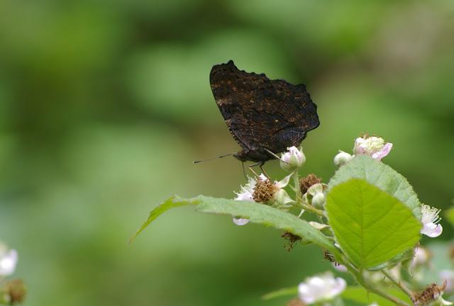 Inachis io L., 1758. Les Hautes-Lisières (Rouvres, 28), 28 juin 2011. Photo : J.-M. Gayman