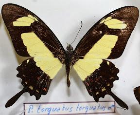 P.TORQUATUS TORQUATUS.JPG
