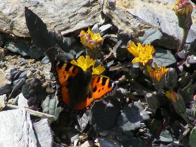 Small Tortoiseshell Aglais urticae on Dwarf Alpine Hawksweed Crepis pygmaea, Hautes-Pyrenees, France. Photo by Loire Valley Time Travel.