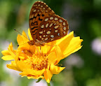 Atlantis Fritillary on Coreopsis.