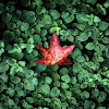 red_leaf_hd1080p.png