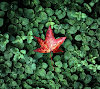 red_leaf_hd1080p.png