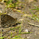 Lasiommata megera LINNAEUS, 1767, mâle. Les Hautes-Lisières, 30 mai 2009. Photo : J.-M. Gayman