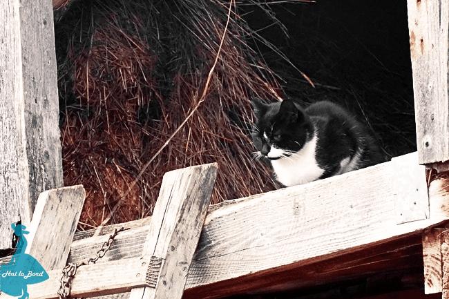 pisica fundata
