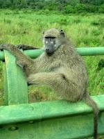 Baboon, Kruger National Park