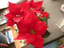 My Poinsettia 05