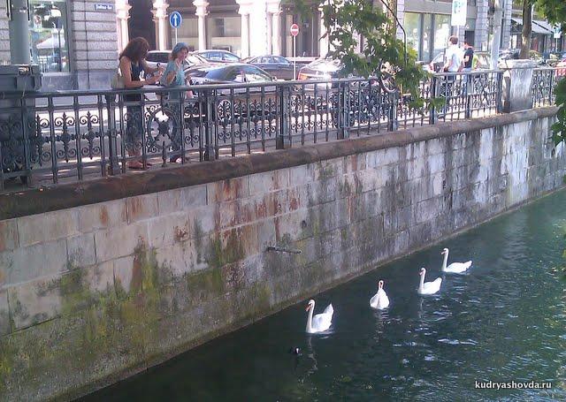 Лебеди в Швейцарии