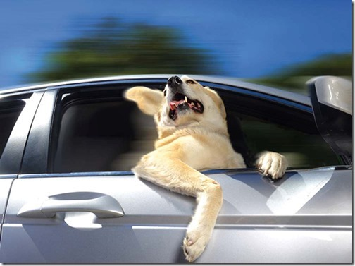 perros asomads a la ventanilla del coche (3)