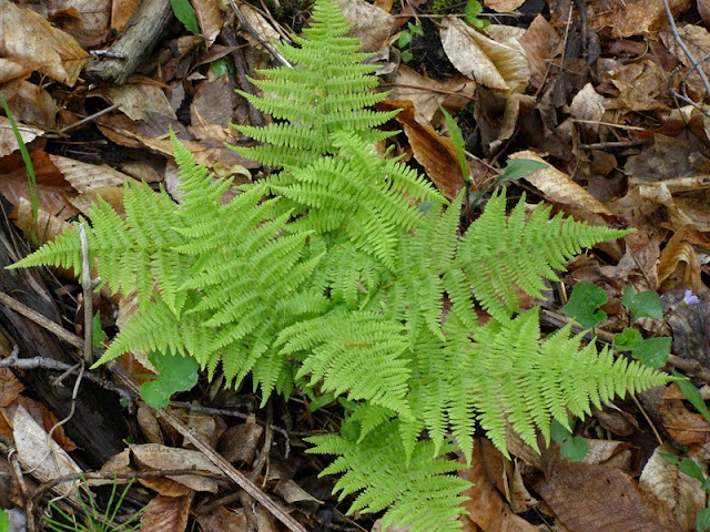Wood Fern