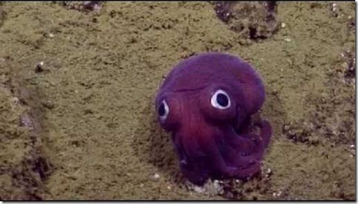calamar-rossia-pacifica-enrique-antonio-schlegel