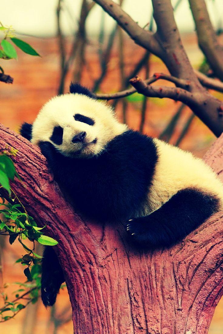 Pandaszitterek